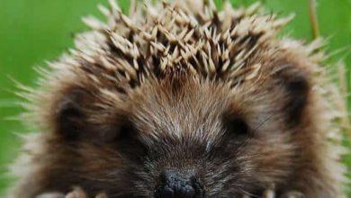 Photo of Włos na głowie się jeży. Obrońcy zwierząt reagują na zabójstwa jeży w mieście