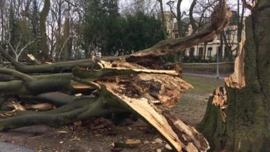 Photo of Radna Bożena Ronowicz domaga się wycinki chorych drzew