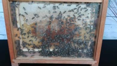 Photo of Dzień Pszczół wraca do Ogrodu Botanicznego! Poszukiwani pszczelarze do współpracy