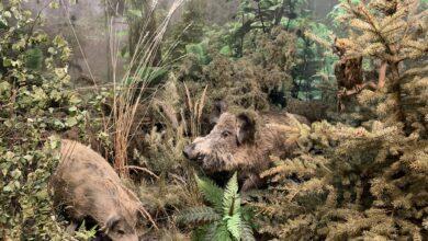 Photo of Namiastka lasu w Centrum Przyrodniczym – dziki, szop pracz, wydry…